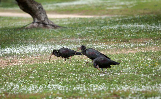 Ibis Eremita en Montenmedio